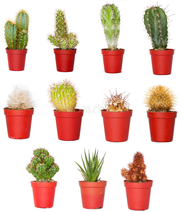 Cactuses stock image