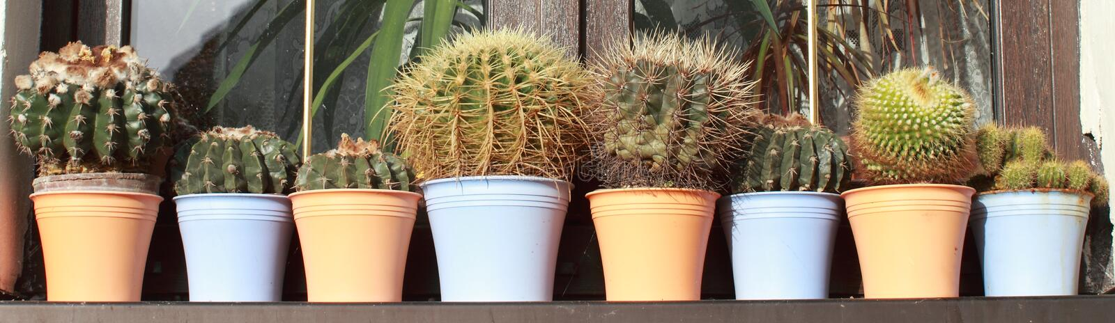 Cactuses. Row of cactuses in front of the window royalty free stock images