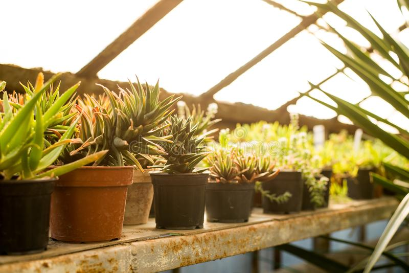 Cactuses background. green Cactus in greenhouse in botanic garden.  royalty free stock photo