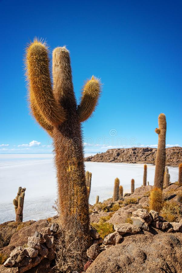 Cactuses in Incahuasi island, Salar de Uyuni  salt flat, Potosi Bolivia. Cactuses in Incahuasi island, Salar de Uyuni  salt flat, Potosi, Bolivia royalty free stock photo