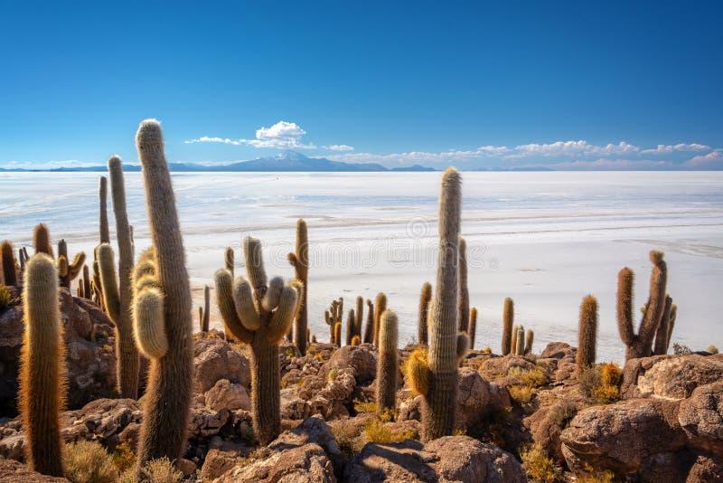 Cactuses in Incahuasi island, Salar de Uyuni  salt flat, Potosi, Bolivia. Cactuses in Incahuasi island, Salar de Uyuni  salt flat, Potosi Bolivia stock photos