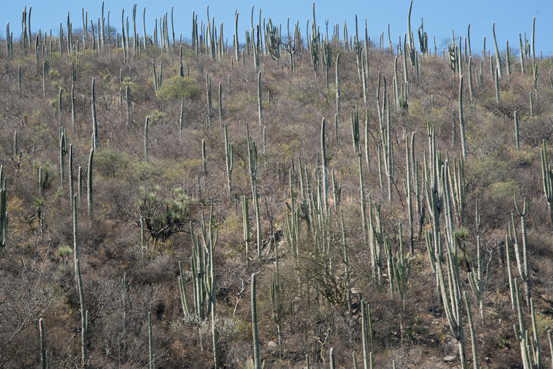 Cactuses in Mexico, Oaxaca. By the mountain road royalty free stock photography