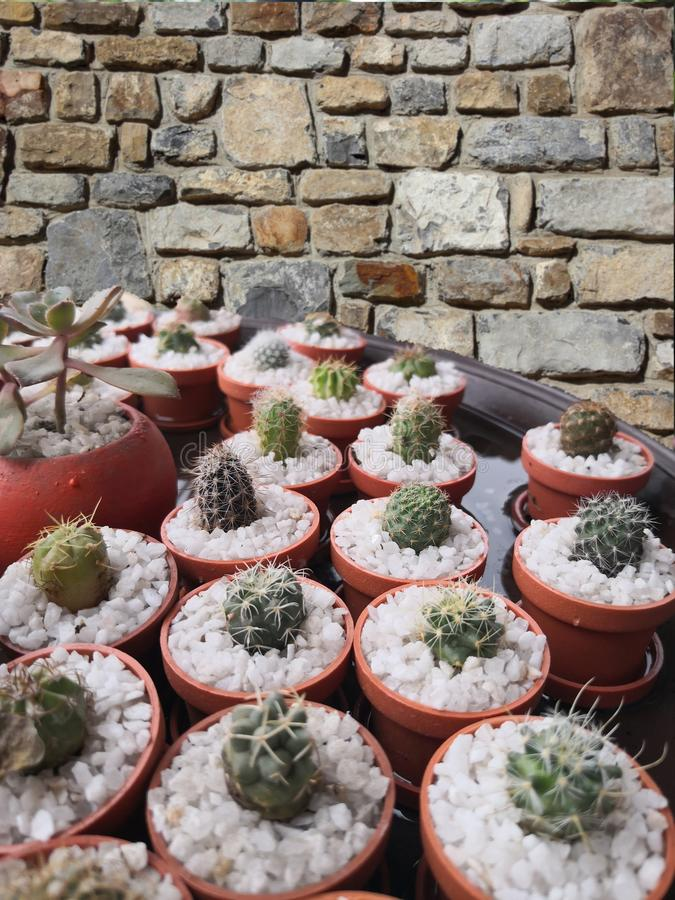 Cactuses in their pots. In the background a stone wall stock photography