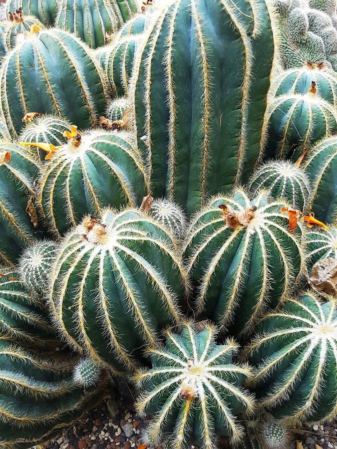 cactusgebieden royalty-vrije stock afbeeldingen