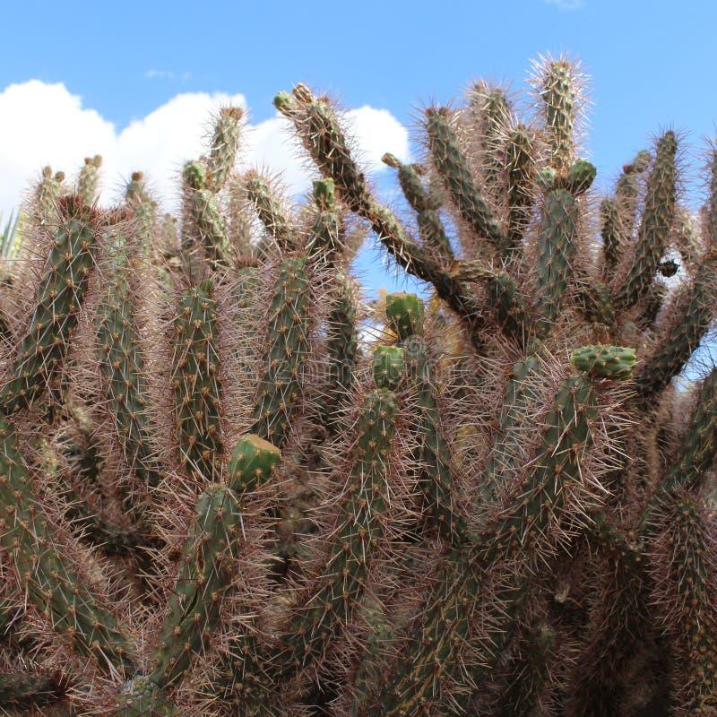 Cactushemel stock foto's