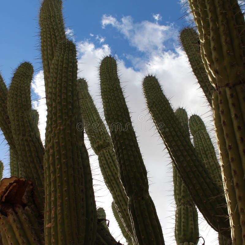 Cactushemel royalty-vrije stock afbeelding