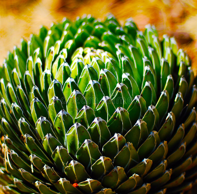 Cactusinstallatie agava stock afbeelding