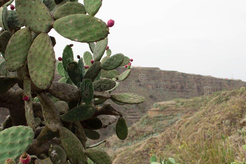 Cactusinstallatie op de berg royalty-vrije stock fotografie