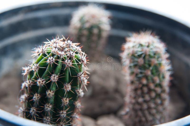 Cactusinstallaties stock foto's