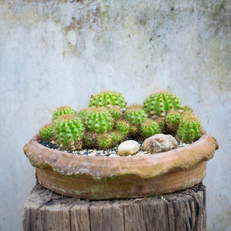 Cactusinstallaties in de pot tegen uitstekende muurachtergrond stock foto's