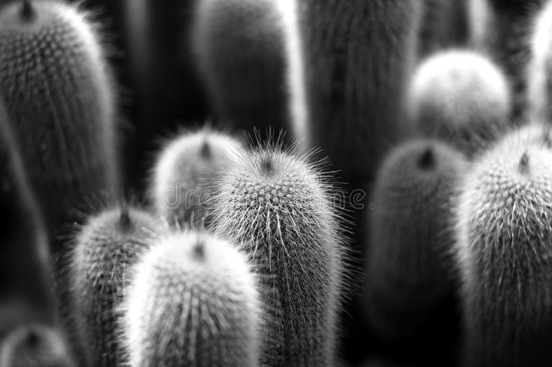 Cactusinstallaties in zwart-wit royalty-vrije stock fotografie