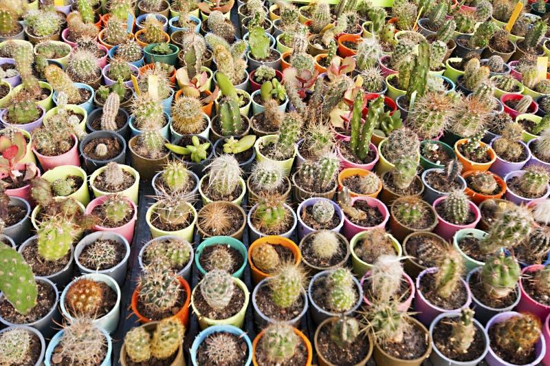 Cactuskinderdagverblijf - vele kleine bloemen stock foto