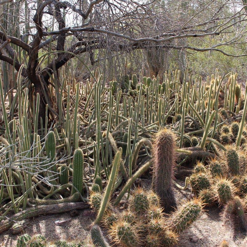 Cactuslabyrint stock foto's