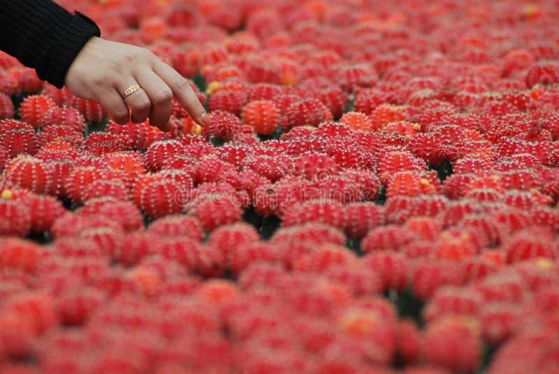 Cactuslandbouwbedrijf stock afbeeldingen