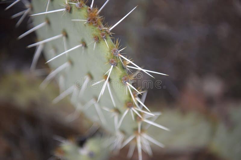 Cactusnaalden in Alle Richtingen royalty-vrije stock afbeelding