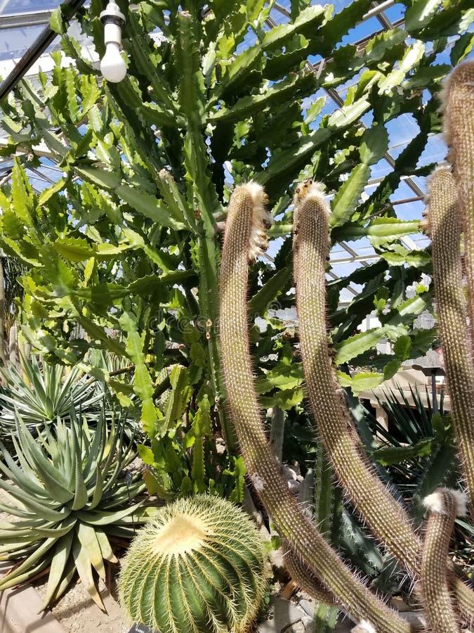 Cactusschoonheid royalty-vrije stock foto's
