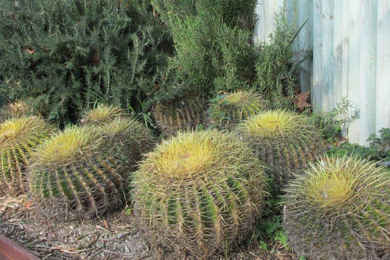 Cactussen stock afbeelding
