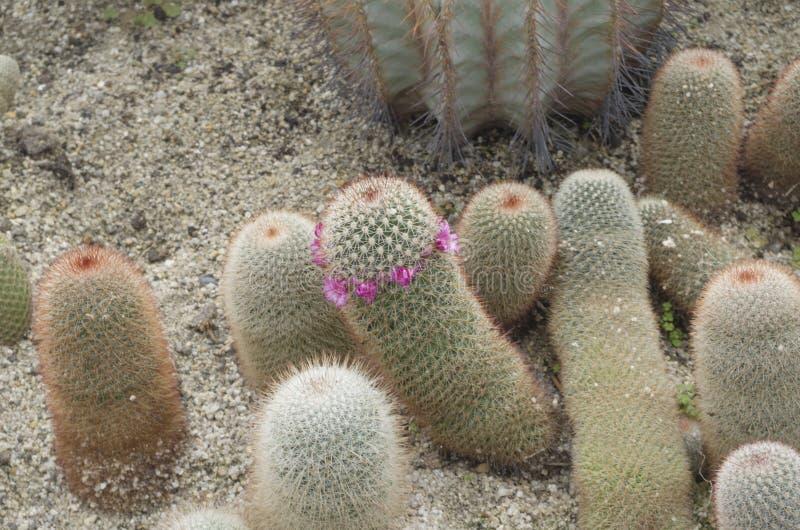 Cactussen 1 bij het botanische park van Xiamen stock foto's