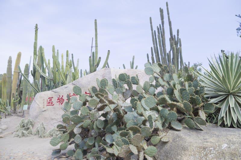 Cactussen 2 bij het botanische park van Xiamen royalty-vrije stock foto's