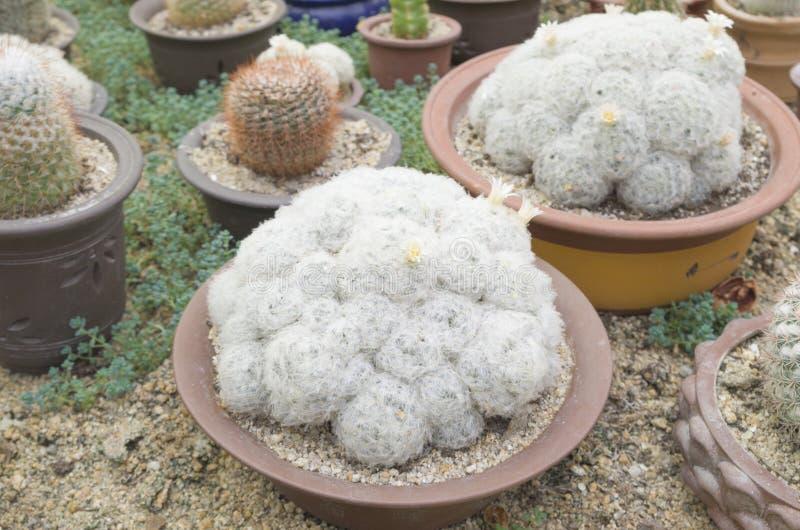 Cactussen 6 bij het botanische park van Xiamen stock afbeelding