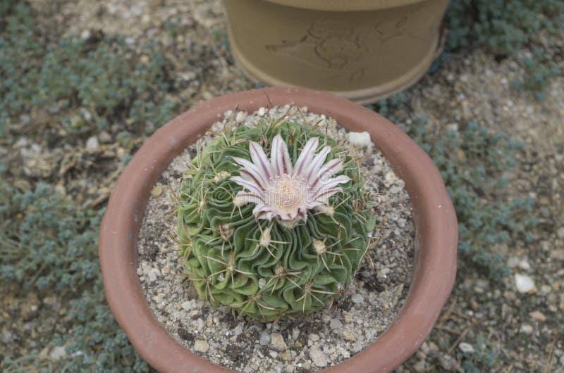 Cactussen 8 bij het botanische park van Xiamen stock afbeeldingen