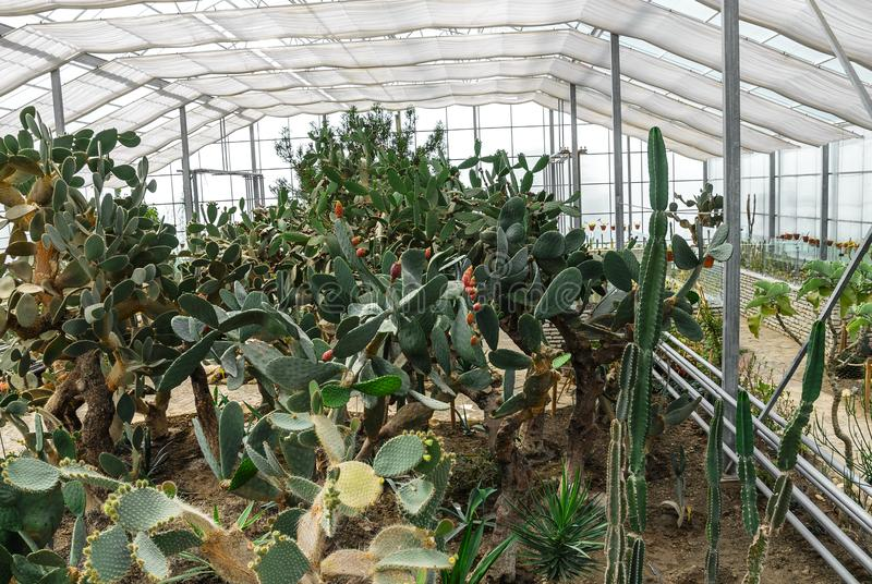 Cactussen in de serre stock afbeelding