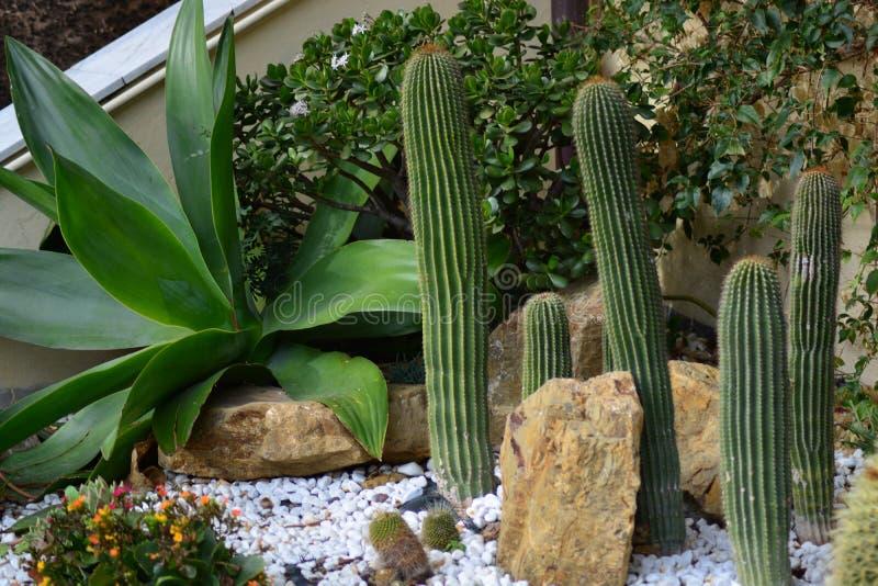 Cactussen in de tuin royalty-vrije stock afbeeldingen