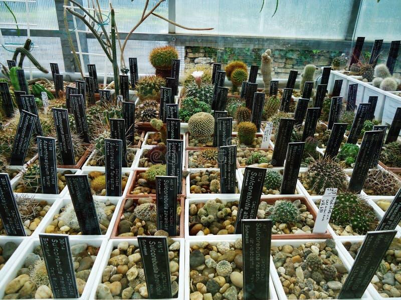 Cactussen en stenen royalty-vrije stock afbeelding