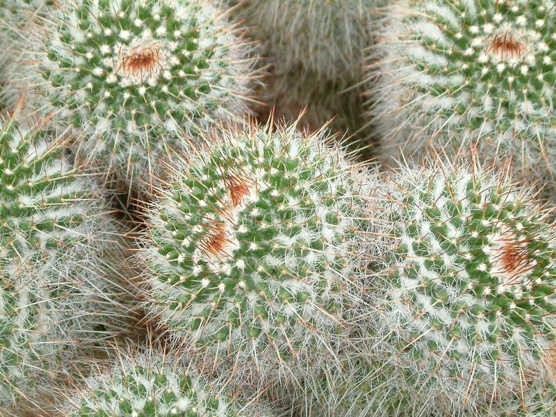 Cactussen Galore stock fotografie