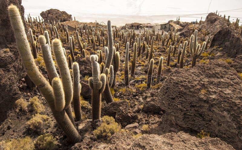 Cactussen in Salar de Uyuni royalty-vrije stock foto