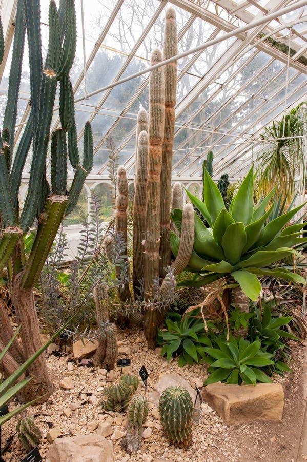 Cactussen in serre stock afbeeldingen