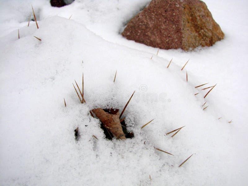 Cactusstekels stock foto