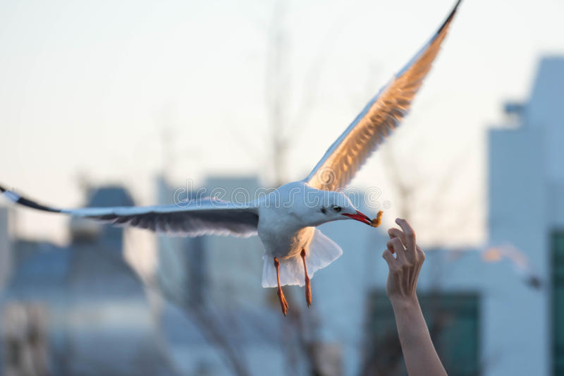 Cada año durante el mes del noviembre a marzo Las gaviotas son a imagen de archivo