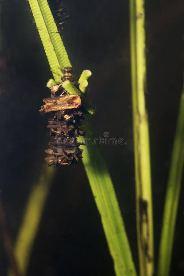 Caddisflielarven onder het water in het gebouwde huis Trichoptera stock fotografie