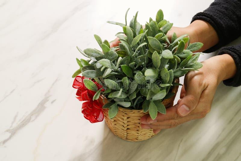 cadeau donnant, main d'homme tenant le vase à usine dans un geste de donner o photos stock