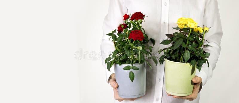 cadeau pour des vacances - pot de fleur avec les roses jaunes photos stock