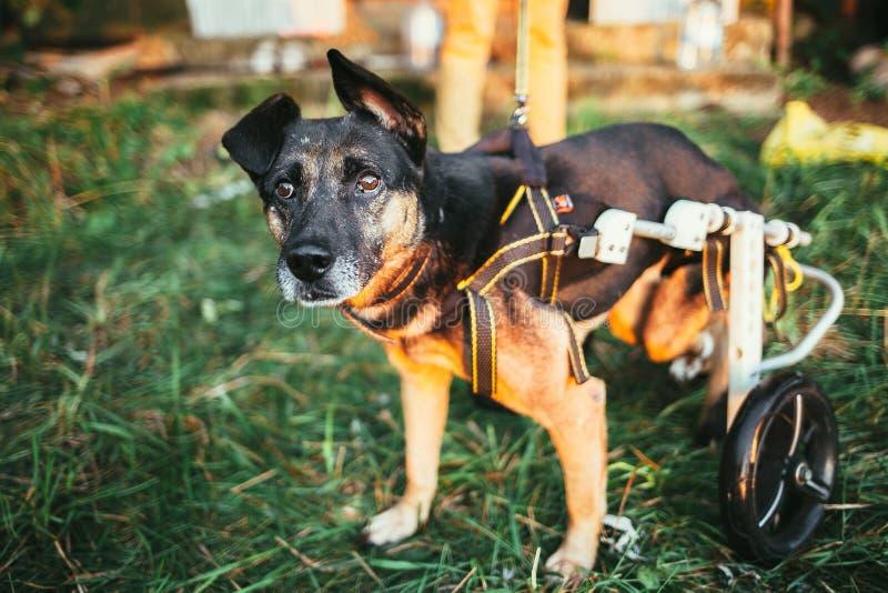 Cadeira de rodas do cão imagens de stock