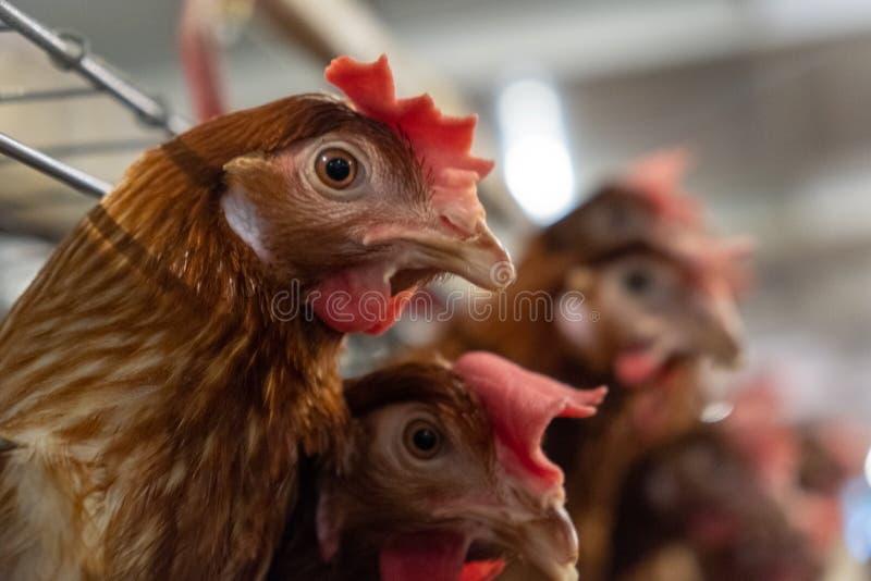 Cadena de producción de niveles múltiples cadena de producción del transportador de los huevos del pollo de una granja avícola imagen de archivo