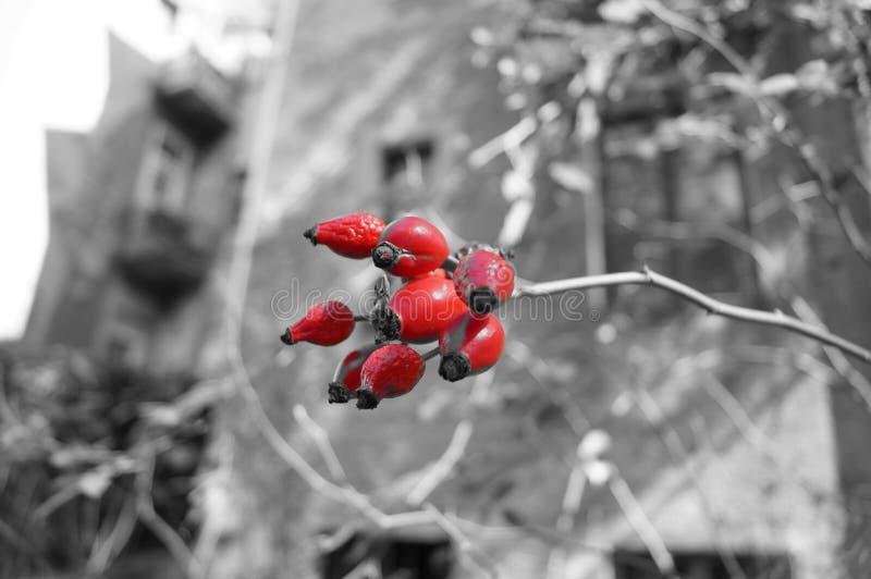 Cadera de Rose foto de archivo libre de regalías