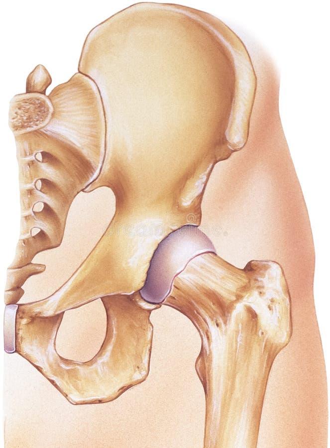 Cadera - junta y huesos in situ libre illustration