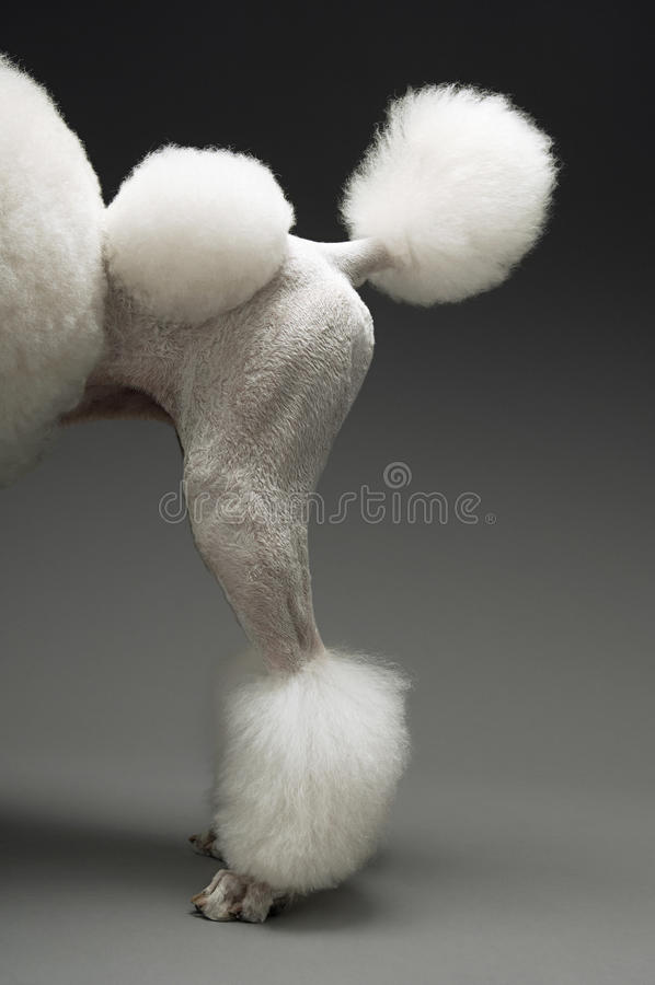 Caderas del caniche blanco estándar imagen de archivo