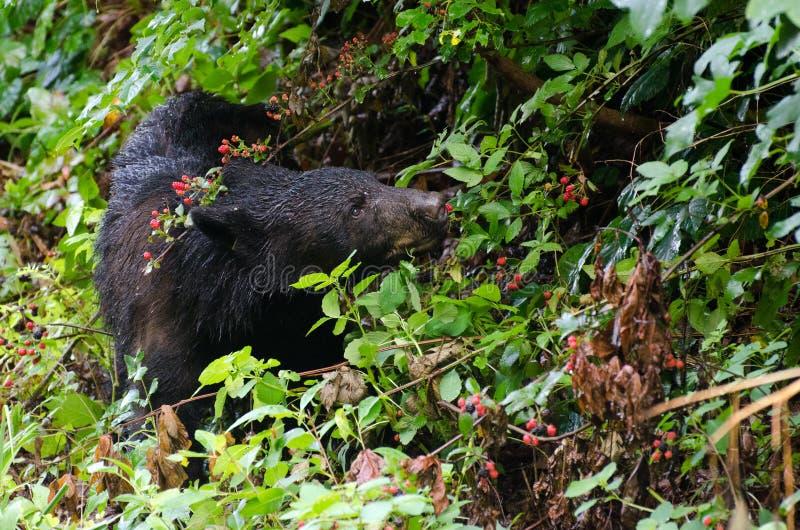Cades för svart björn liten vik GSMNP arkivfoton