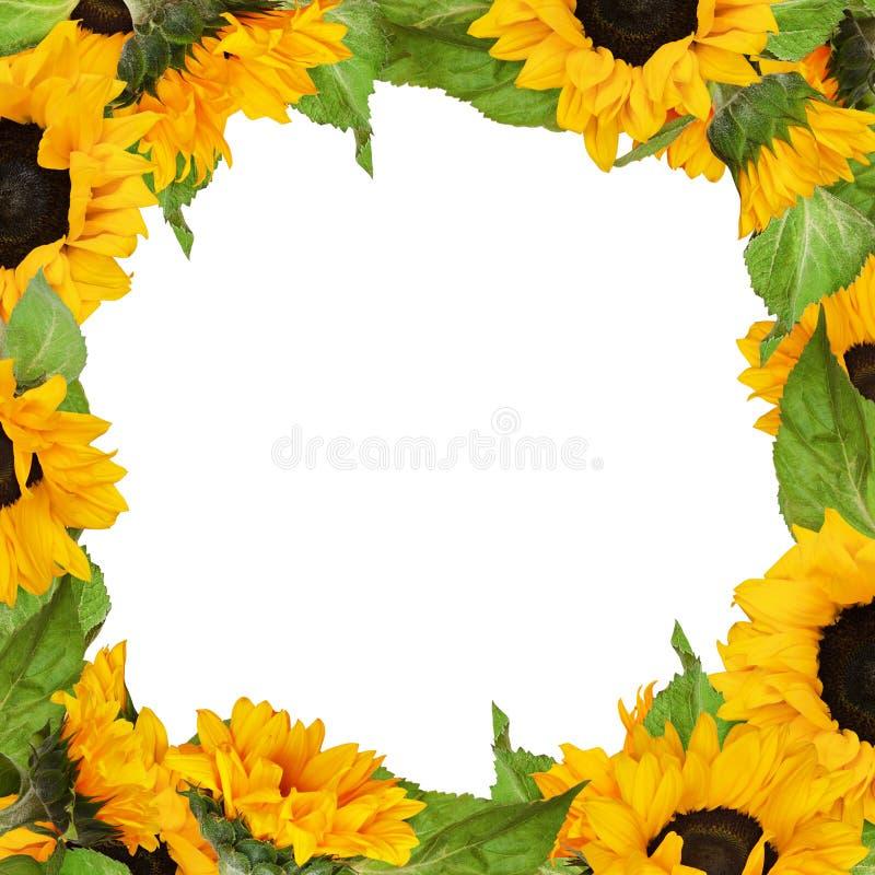 Cadre carré de tournesols photographie stock libre de droits