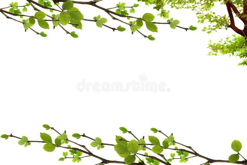 Cadre de feuille et de branche d'arbre d'isolement sur le fond blanc photos stock