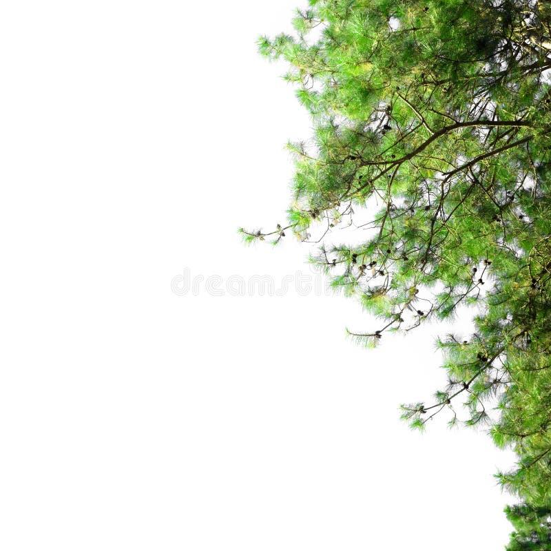 Cadre de pin avec l'espace vide Frontière de Noël avec des branches de sapin d'isolement sur le fond blanc photo libre de droits