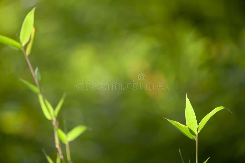 Cadre en bambou croissant de feuille dans la forêt ou fond de texture avec la lumière gentille photo stock