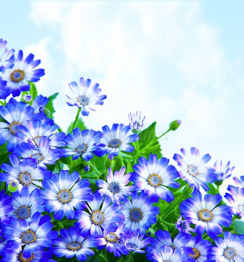 Cadre floral de marguerite photographie stock libre de droits