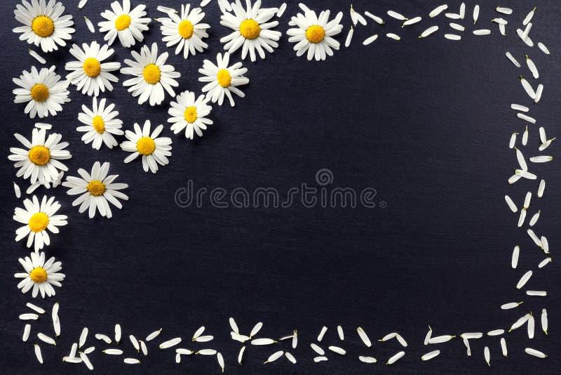Cadre rectangulaire des marguerites blanches sur un fond noir Modèle floral avec l'espace de copie étendu à plat Fleurit la vue s photographie stock libre de droits