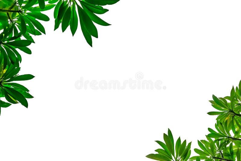 Cadre vert de feuille avec le fond blanc d'isolement photographie stock libre de droits