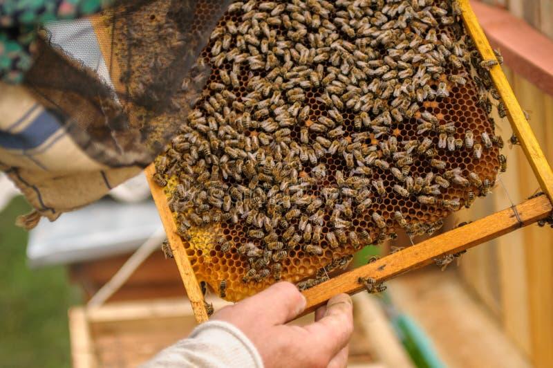 Cadres de ruche de ruche L'apiculteur rassemble le miel et regarde le cadre L'apiculteur vérifie la ruche photo stock
